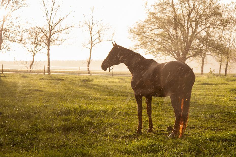 Esőben álló ló