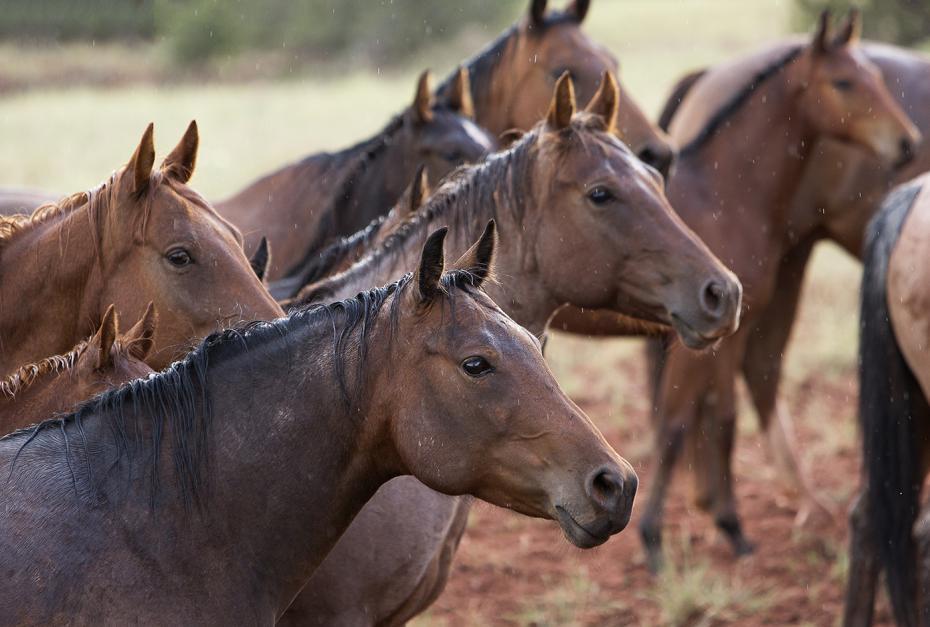 Esőben álló lovak