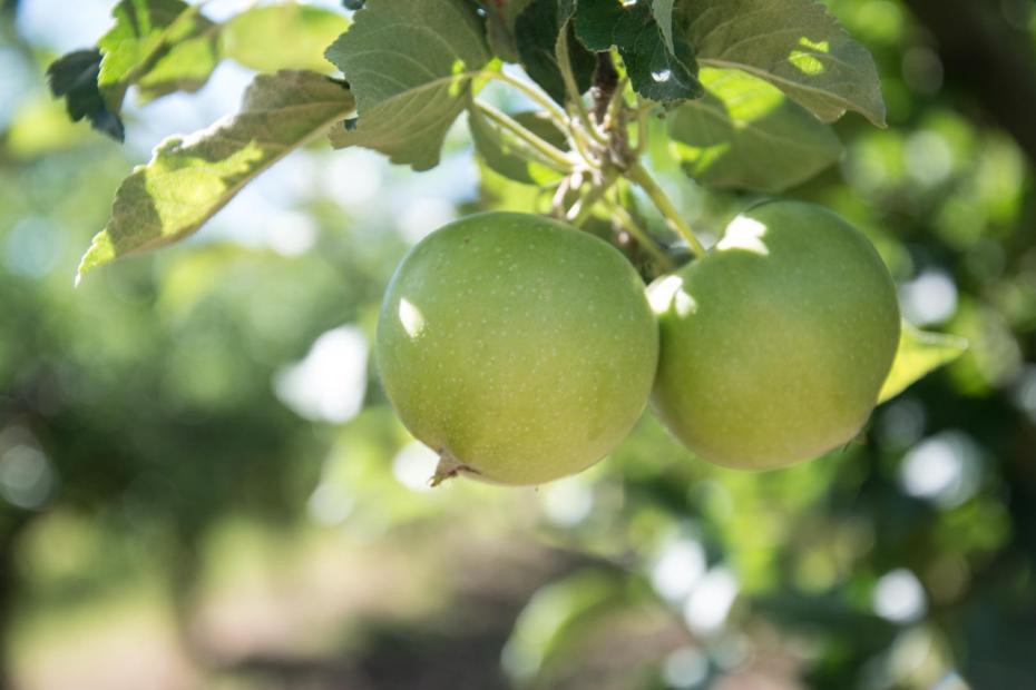 almáskert alma