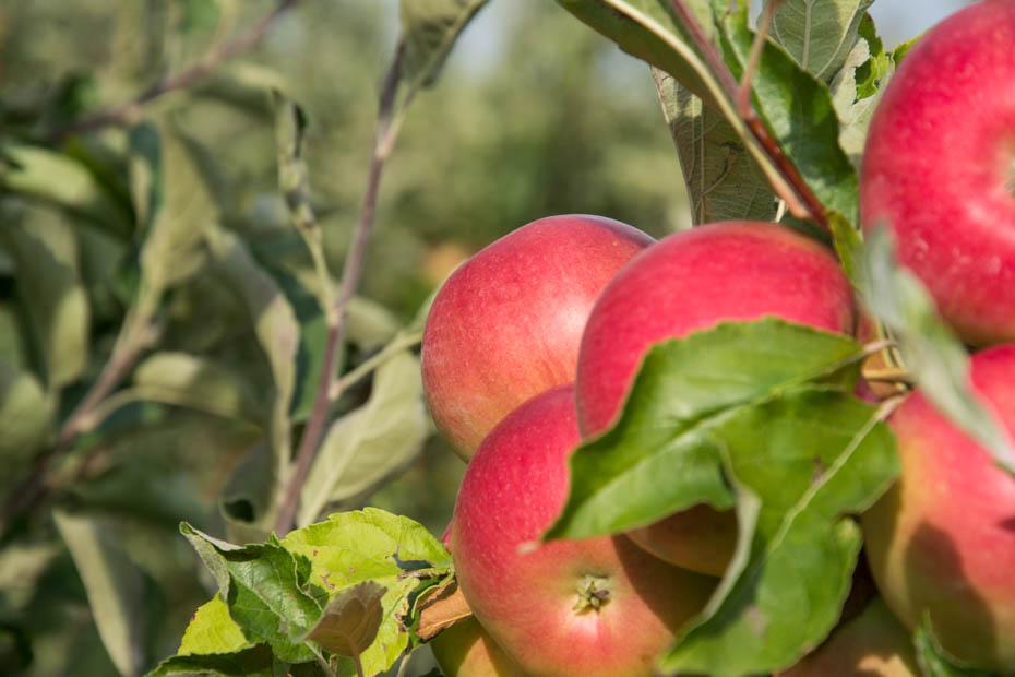 Pirosodó almák
