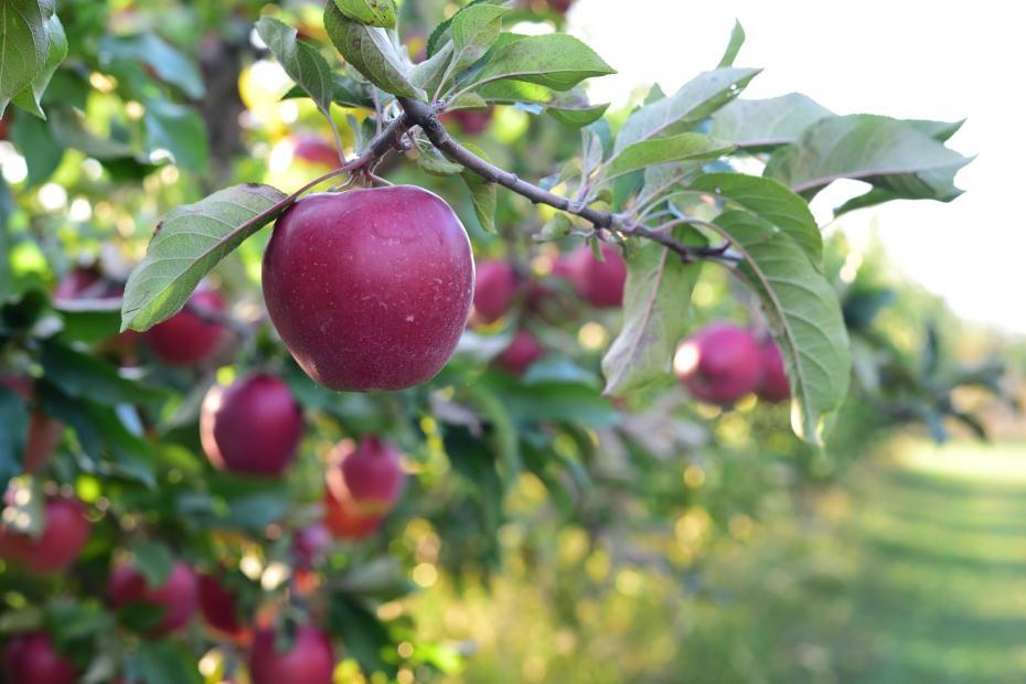 Látogató képe - szedd magad alma